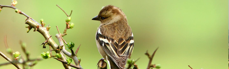 Urbanization Effects on Native Bird Populations