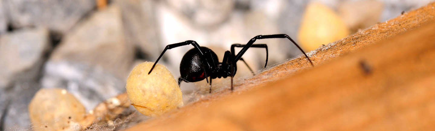 The Western Black Widow Spider: From Desert Predator to Urban Pest
