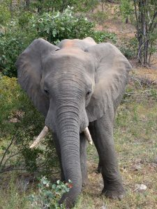 South Africa_Elephant small