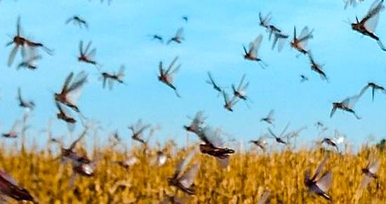 Global Locust Initiative Image